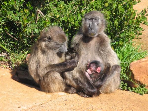 Бабуины в африке