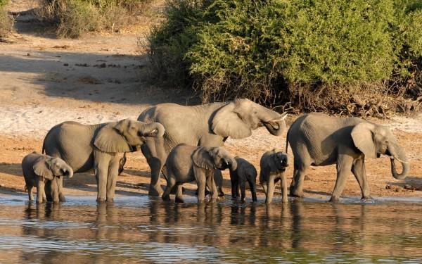 Слоны в национальном парке Чобе